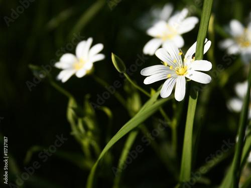 Papiers peints Narcisse fleur