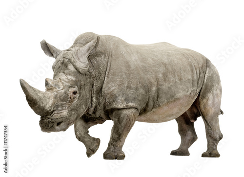 White Rhinoceros - Ceratotherium simum     - 10 years