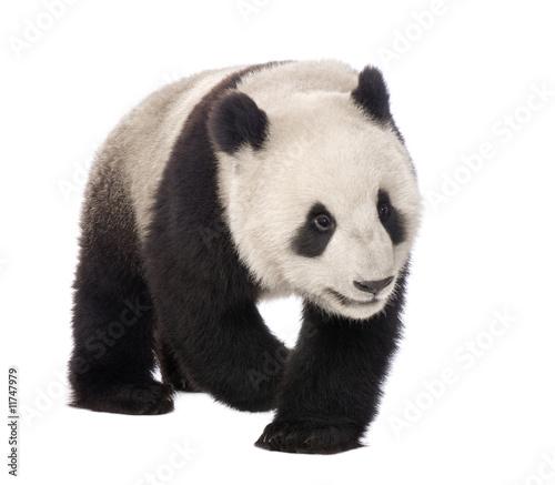 Keuken foto achterwand Panda Giant Panda (18 months) - Ailuropoda melanoleuca