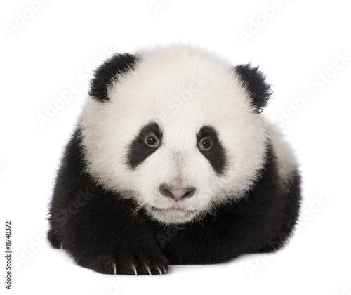 Photo  Giant Panda (4 months) - Ailuropoda melanoleuca