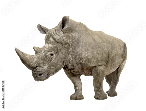 Spoed Foto op Canvas Neushoorn White Rhinoceros - Ceratotherium simum ( +/- 10 years)