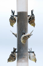 Gold Finches At A Feeder