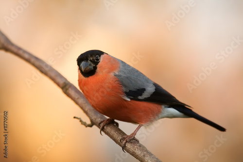 Fotografia Winter bullfinch