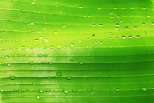 Banana Leaf With Drops