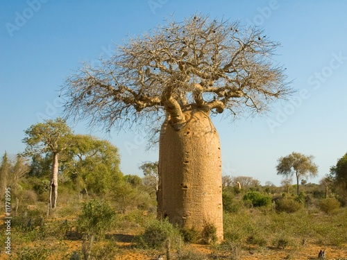 Fotobehang Baobab Bottle shaped Baobab tree