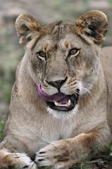 Panel Szklany Lew Lioness (Panthera leo).