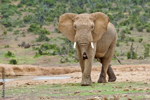 Aluminium Prints Elephant Angry Bull Elephant