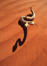 A Sidewinder Rattlesnake In Th...