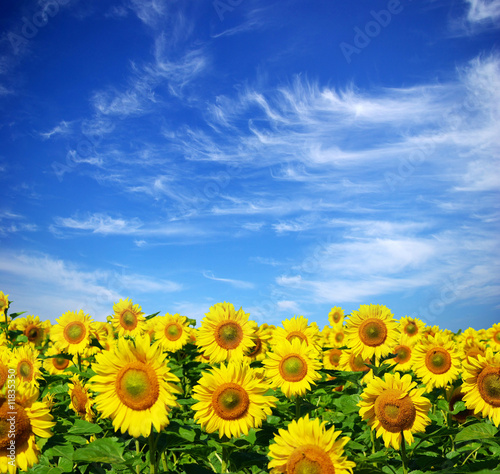 Foto-Lamellen - sunflower field