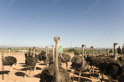 Stickers pour portes Autruche ostrich farm in South Africa