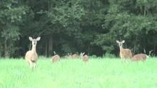 Deer Snorting In Anger Before Running Away