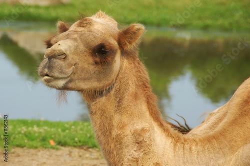 Foto op Canvas Dubai camel on wildlife preserve