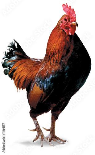 Photo majestic  cock