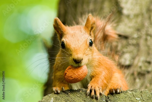 Foto op Canvas Eekhoorn squirrel eating nut on the tree