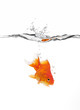 canvas print picture goldfish jumped into water