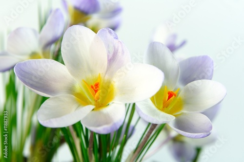Canvas Prints Crocuses Krokusse