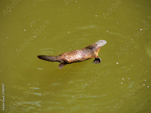 Fotografia  duck billed platypus