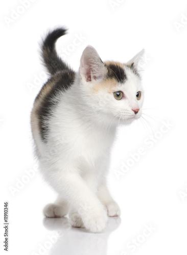 Foto-Flächenvorhang ohne Schienensystem - kitten European Shorthair cat (2 months) (von Eric Isselée)