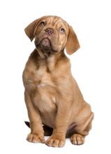 Dogue De Bordeaux Puppy (2 Mon...