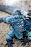 Fototapeta Animals - Blue Iguana 02