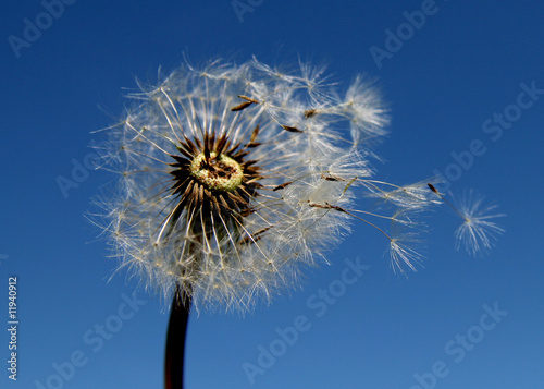 blow-ball by the wind / dmuchawiec na wietrze - 11940912