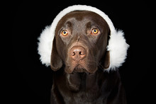 Cute Chocolate Labrador In Whi...