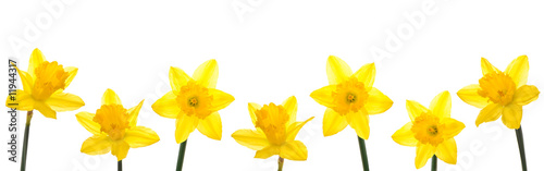 Poster Narcis Daffodil Line