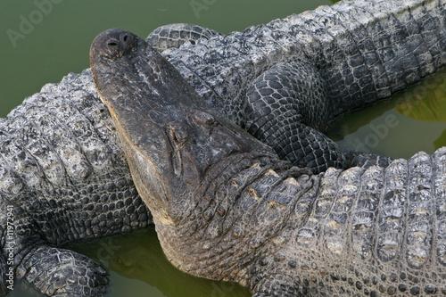 Photo  alligators