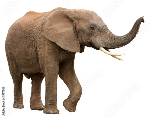African Elephant Isolated on White Wallpaper Mural