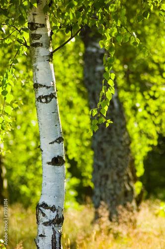 Spoed Fotobehang Berkbosje birch in sunlight