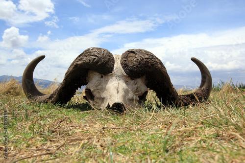 Photo Stands Buffalo Cape buffalo skull in Ngorongoro crater Tanzania