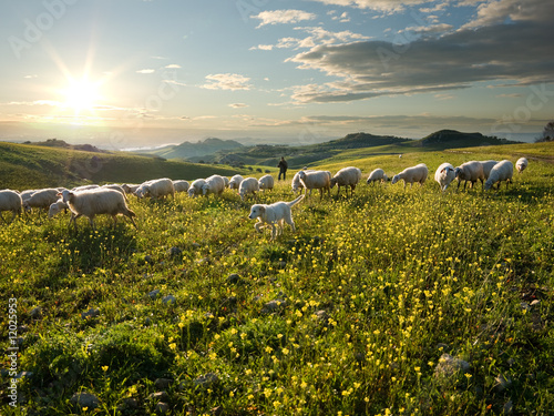 shepherd with dog and sheep that graze in flowered field at sunr