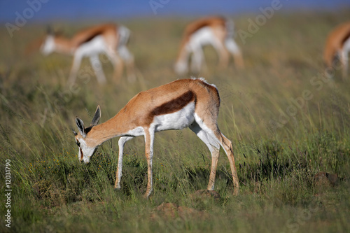 Spoed Fotobehang Antilope Grazing springbok antelopes, South Africa