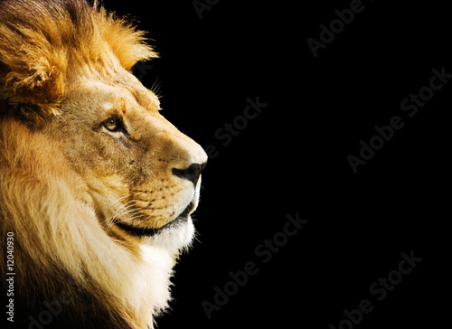 Foto op Aluminium Leeuw Lion portrait with copy space on black background
