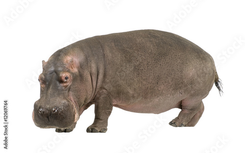 Hippopotamus - Hippopotamus amphibius ( 30 years) Fototapeta