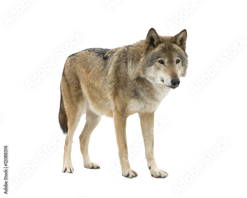 Young wolf staring at its pray. Isolated on white.