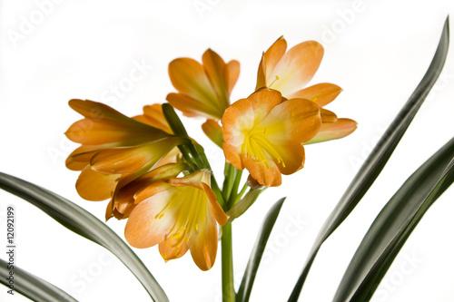 In de dag Narcis Beautiful Clivia flower