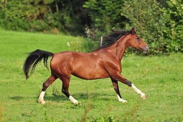 Pferd galoppiert auf Weide 2 (horse gallop)