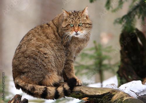 Vászonkép  Europäische Wildkatze