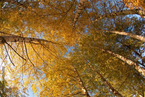 drzewa - 12136322