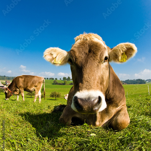 Staande foto Koe Happy swiss cow on green grass