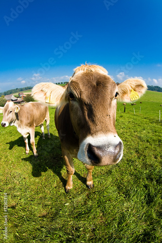 Tuinposter Koe cow, funny fisheye nose close up