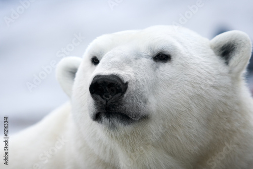 Recess Fitting Pole Polar bear. Portrait