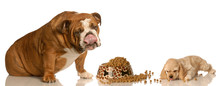 Hungry Cocker Spaniel Puppy And  Bulldog Sharing Food