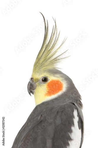 Tablou Canvas Cockatiel - Nymphicus hollandicus