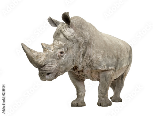 Photo sur Toile Rhino White Rhinoceros - Ceratotherium simum ( +/- 10 years)