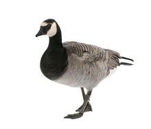 Mixed-Breed Goose Between Cana...