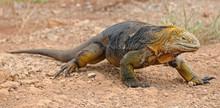 Walking Land Iguana