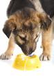 Leinwandbild Motiv Puppy eats from a bowl
