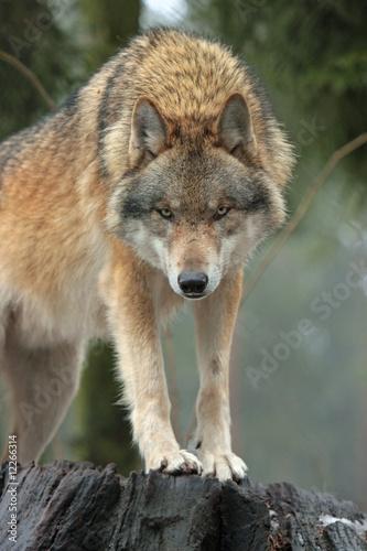 Cuadros en Lienzo Wolf